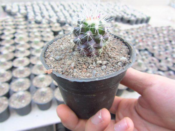 نام محصول: اچینوکاکتوس گروزونی Echinocactus grusonii