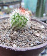 Cactus Mammillaria elongata