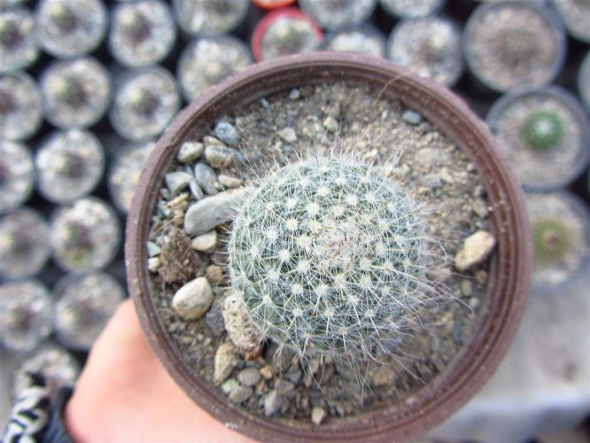 Mammillaria elegans | مامیلاریا الگانس
