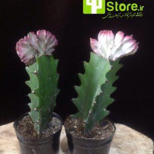نام محصول: لاکتی پیوندی نام لاتین : Euphorbia