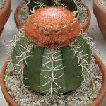 کاکتوسچی ملوکاکتوس سفالیوم قرمز