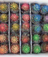 پک کاکتوس رنگی ۲۵ عددی ( گلدان۶)