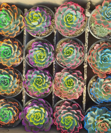 پک اچوریا رنگی ۱۶ عددی ( گلدان۸)