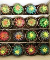 پک کاکتوس اچینو رنگی شب نما ۱۶ عددی ( گلدان۸)
