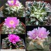 بذر آریو کارپوس میکس خاص وکلکسیونی   Ariocarpus Cactus Mix