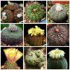 بذر فرالیا میکس | Frailea mix seed