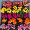 پک کالانکوا گلدار رنگی25عددی ( گلدان6)