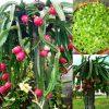 بذر دراگون فروت (عمده)   dragon fruit pitaya