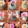 بذر پلسی فورا میکس بسیار زیبا و نایاب |  PELECYPHORA special cactus  mix