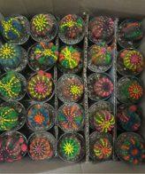 پک اچینوپسیس رنگی 25 عددی