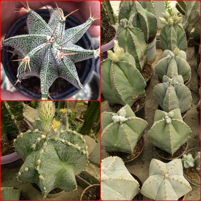 Astrophytum ornatum and myriostigma mix seed