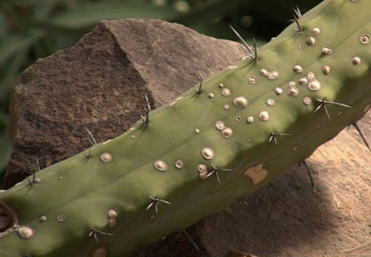 حشرات مضر کاکتوس ها