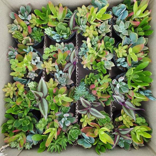 پک دیش گاردن ساکولنت 16عددی (گلدان 8)
