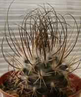 بذر کاکتوس توربینی کارپوس تیغ بلند 50 عددی
