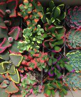 پک ساکولنت میکس رنگی (گلدان 8 ) 16 عددی