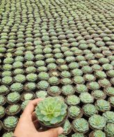 پک ساکولنت اچوریا آبی (گلدان 8) 16 عددی