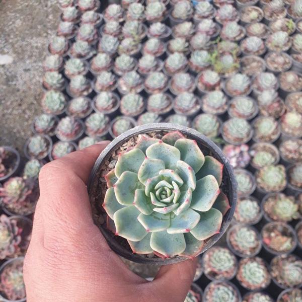 پک ساکولنت اچوریا لب ماتیکی (گلدان 8) 16 عددی