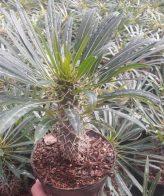 پک نخل ماداگاسکار (گلدان 14) 5عددی