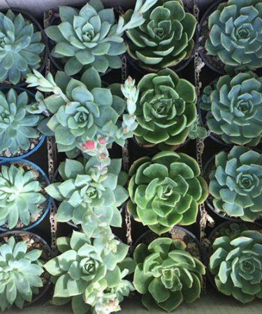 پک ساکولنت اچوریا سبز و آبی (گلدان 8) 16 عددی