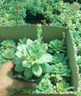 پک ساکولنت آشوریا (گلدان 8) 16 عددی
