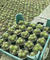 نام محصول : پک کاکتوس اچینو لقمه ای (گلدان 6) 25 عددی شامل 25 عدد کاکتوس اچینو لقمه ای در گلدان سایز 6 ارسال این محصول از کرج و با باربری صورت میگیرد. آشنایی با خصوصیات ساکولنت اچوریا لب ماتیکی زیستگاه اصلی ساکولنت اچوریا در کشور مکزیک و آمریکای جنوبی میباشد.این گیاه زیبا ساکولنتی بابرگ های بزرگ و پهن است که لبه تیزی دارند. اچوریا گلهای قیفی شکل به رنگ های زرد و نارنجی همراه با رویه قرمز دارد. برای کسب آشنایی بیشتر با کاکتوس و ساکولنت ها به وبسایت مرجع کاکتوس پدیا مراجعه نمایید. آموزش نگهداری از کاکتوس اچینو لقمه ای خاک و کود مناسب کاکتوس اچینو لقمه ای خاک مناسب کاکتوس و ساکولنت ها خاکهایی با خلل و فرج و زهکشی مناسب میباشد. . زهکشی خاک بدین علت است که هنگام آبیاری کاکتوس، آب اضافی از گلدان خارج شود و ریشه گیاه دچار آسیب پوسیدگی نگردد. فرمولی که در بیشتر کتابها و مقالات علمی برای ترکیب خاک کاکتوسها سفارش شده است این دو فرمول میباشند :  ۱ قسمت خاک باغچه + ۱قسمت ماسه + ۱ قسمت ﮐﻤﭘوست  ۱/۲ خاک ﭘیت + ۱قسمت ماسه + ۱ قسمت ﮐﻤﭘوست کود مورد استفاده برای تقویت کاکتوسها باید دارای ازت کمتر و ﭘتاسیم بیشتر باشد. آبیاری مناسب کاکتوس اچینو لقمه ای نیاز آبی کاکتوسها نسبت به سایر گیاهان کمتر بوده و با توجه به تغییر مییابد. هرچه هوا آفتابیتر، شدت باد بیشتر و رطوبت کمتر باشد، نیاز آبی این گیاهان بیشتر میشود. باید این قانون کلی را در نظر داشت که کاکتوسها در راستای مخالف گیاهان از نظر نیاز آبی قرار داشته و به تاخیر افتادن زمان آبیاری دشواری چندانی برای گیاه ﭘدید نمیآورد ولی آبیاری زیاده از حد گیاه ﭘوسیدگی آن را درﭘﯽ خواهد داشت. نیاز کاکتوس اچینو لقمه ای به نور بیشتر کاکتوس و ساکولنت ها نور ﭘسند میباشند. این گیاهان زیبا در آفتاب گلهای فراوان تولید مینمایند و در کاهش نور شمار گلهای آن ها کم و ﭘراکنده و بیرنگ شده، ساقهها و شاخههای آن باریک میگردند، گیاه ضعیف گشته و میمیرد. میتوانید همین حالا اقدام به سفارش پک ساکولنت اچوریا لب ماتیکی (گلدان 8) 16 عددی از وب سایت کاکتی استور نمائید.