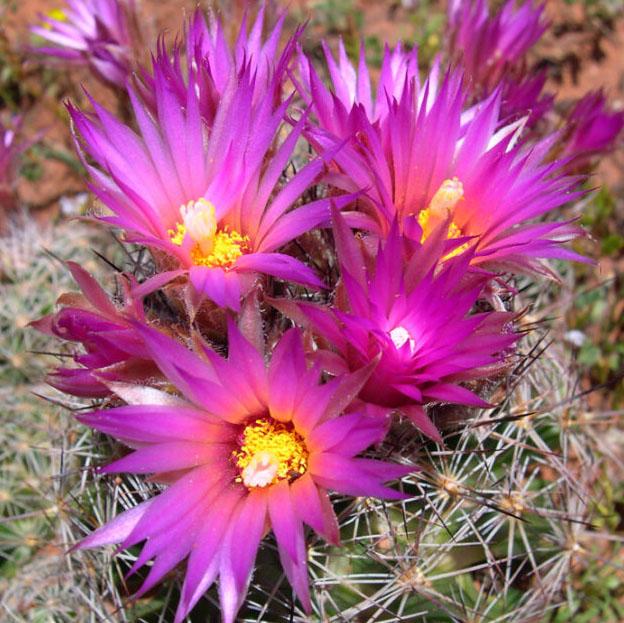 بذر اسکوباریا لیبل دار 50عدد