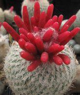 بذر بسیار زیبای اپیتلانتا 100عددی