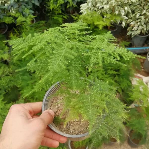 پک گیاه شویدی 5 عددی
