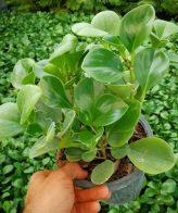 گیاه قاشقی (سطل 3)