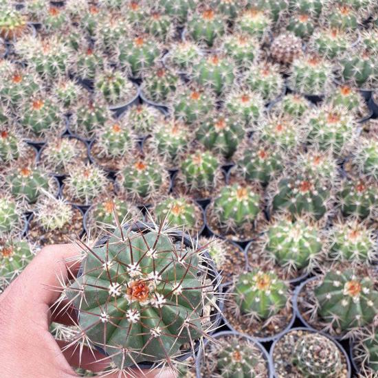 پک کاکتوس ملو سبز (گلدان 8) 16 عددی