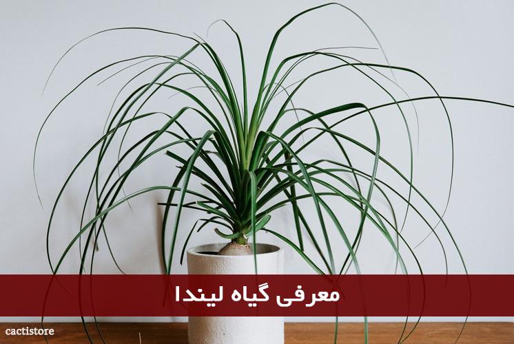 معرفی گیاه لیندا