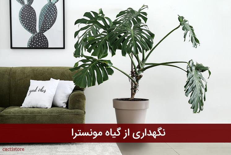 نگهداری از گیاه مونسترا