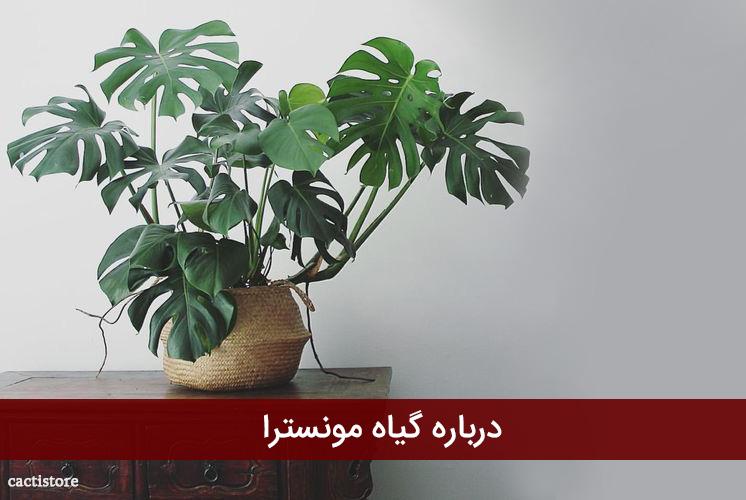 درباره گیاه مونسترا