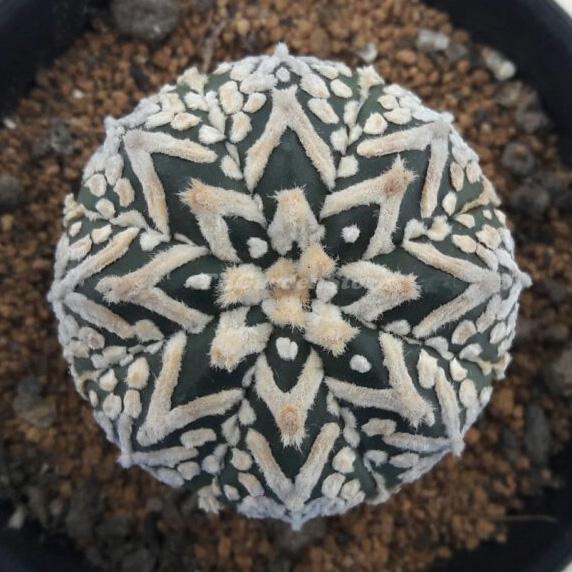 بذر ارزشمند آستریاس ویتایپ خالص10عددی