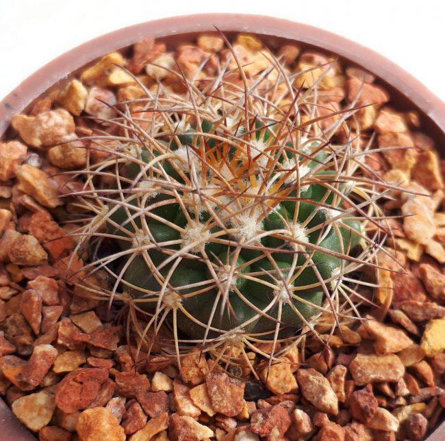 دیسکو کاکتوس بذری و ریشه فابریک ارزشمند