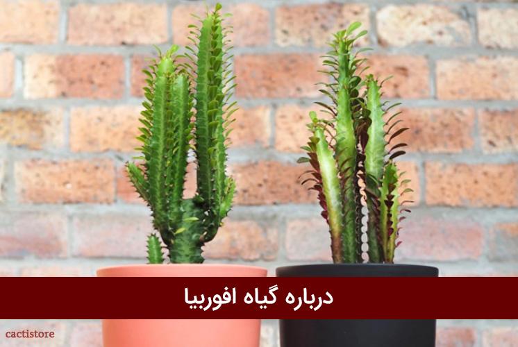 درباره گیاه افوربیا