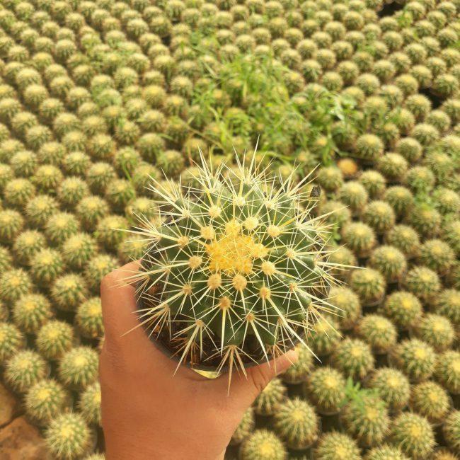پک کاکتوس اچینو تیغ زرد (گلدان 11) 9 عددی