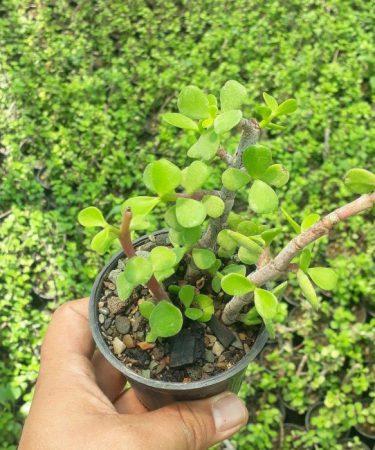 پک ساکولنت کراسولا خرفه ای (گلدان 8) 16 عددی
