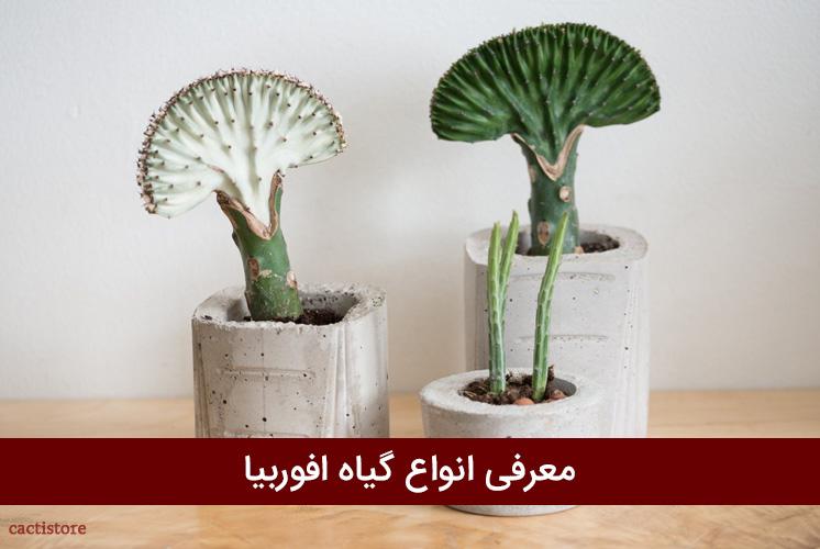 معرفی انواع گیاه افوربیا