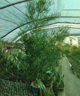 کاکتوس بزرگ افوربیا تیروکالی