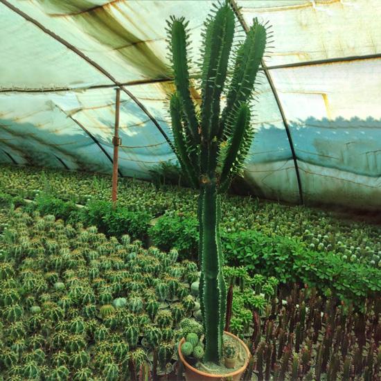 کاکتوس بزرگ افوربیا تریگونا