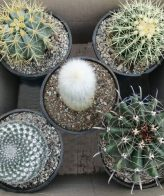 پک کاکتوس بذری متنوع (گلدان 14) 5 عددی