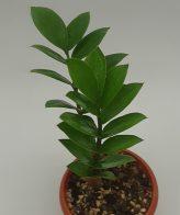 گیاه زامیفولیا با کیفیت