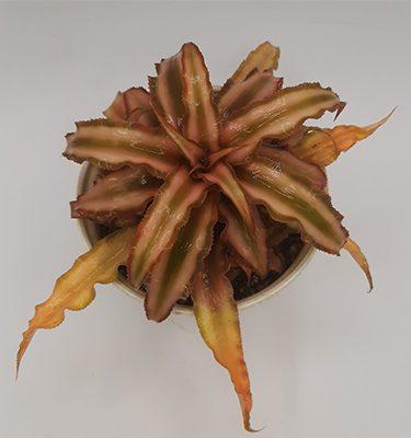 کریپتانتوس (گلدان 10)