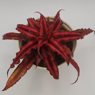 کریپتانتوس خاص (گلدان 10)
