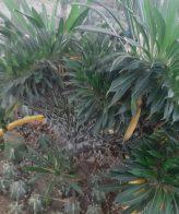 کاکتوس بزرگ ماداگاسکار دفرمه