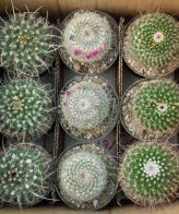 پک کاکتوس بذری خطی (گلدان 11) 9 عددی