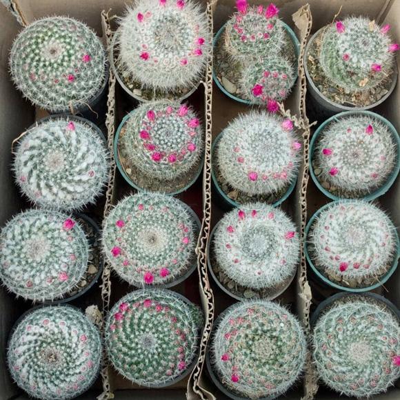 پک کاکتوس هانیانا (گلدان 8) 16 عددی
