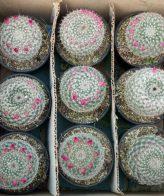 پک کاکتوس هانیانا (گلدان 10) 9 عددی