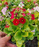 پک گل پریمولا (5 عددی)